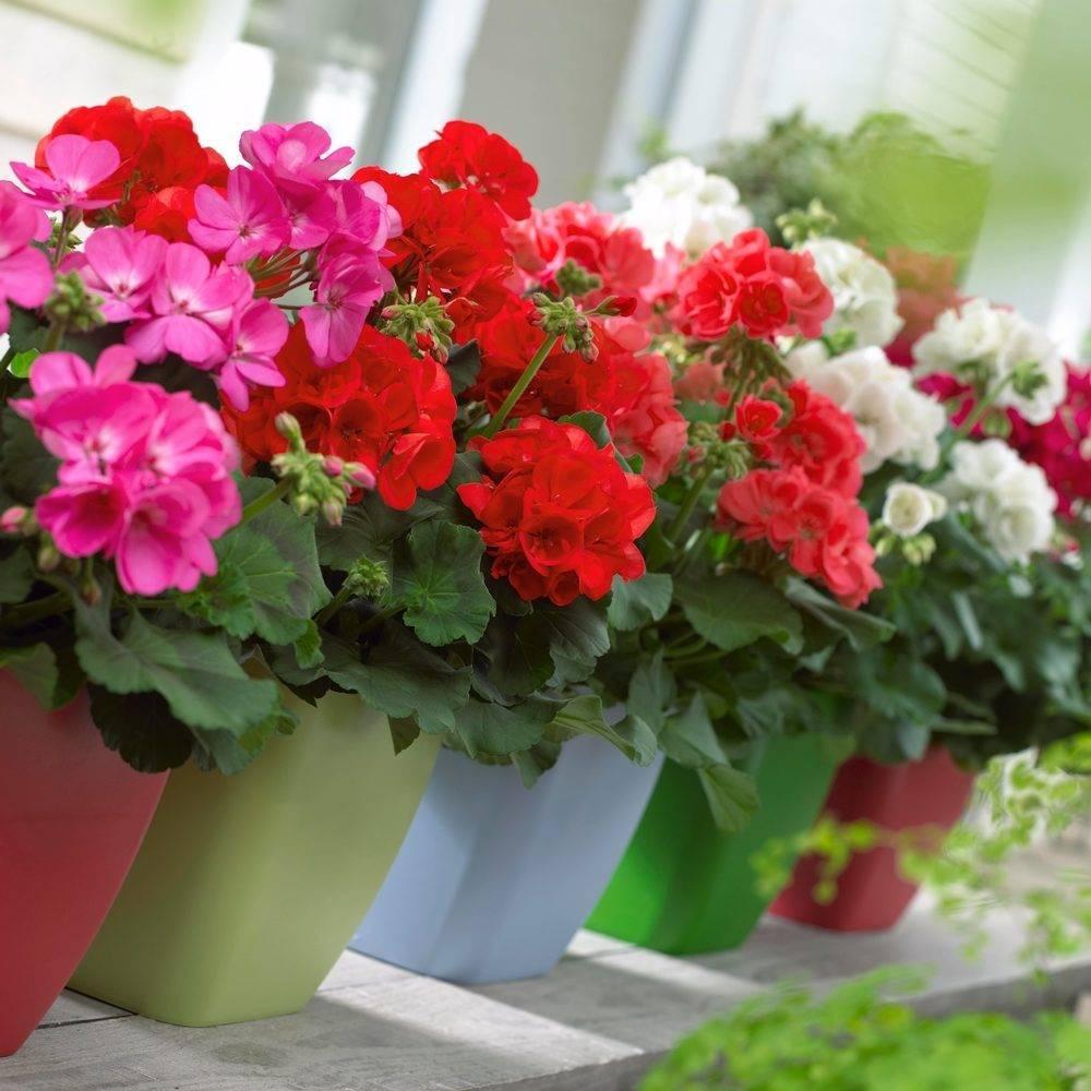 Почему не цветет герань в домашних условиях, а дает только листву: что делать, если комнатная красавица растет буйно вверх, чем подкормить, устранение причин, уход