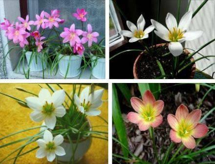 Виды цветка зефирантес — уход в домашних условиях
