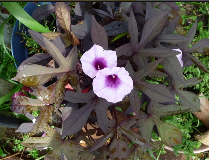 Неприхотливая ипомея батат: яркие краски в любом саду