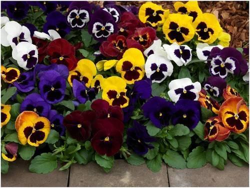 Цветы анютины глазки: фото, высадка в грунт, подкормка и размножение анютиных глазок