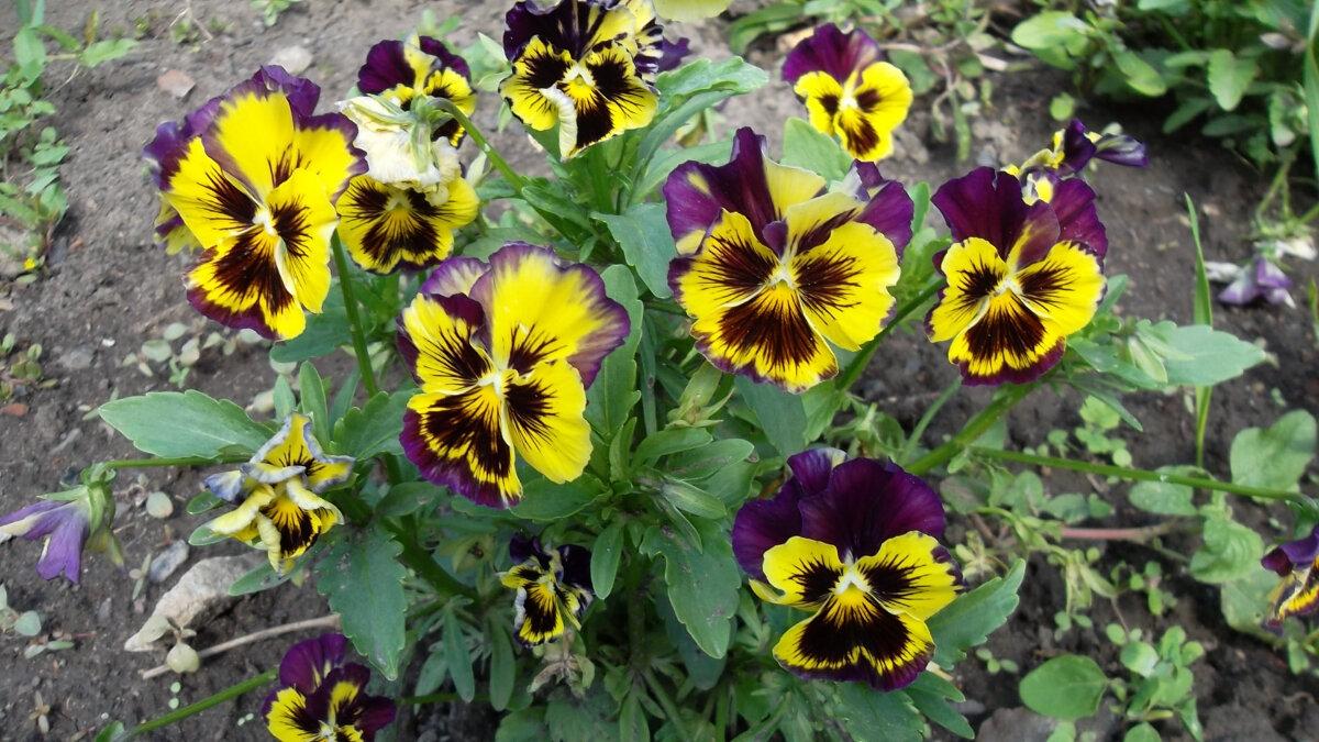 Анютины глазки: посадка и уход осенью, выращивание из семян своими руками дома, а также как выбрать горшок и грунт, когда растение цветет?