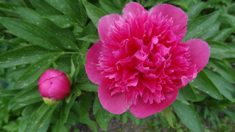 Описание травянистого молочноцветкового пиона сорта примавера (примавере)
