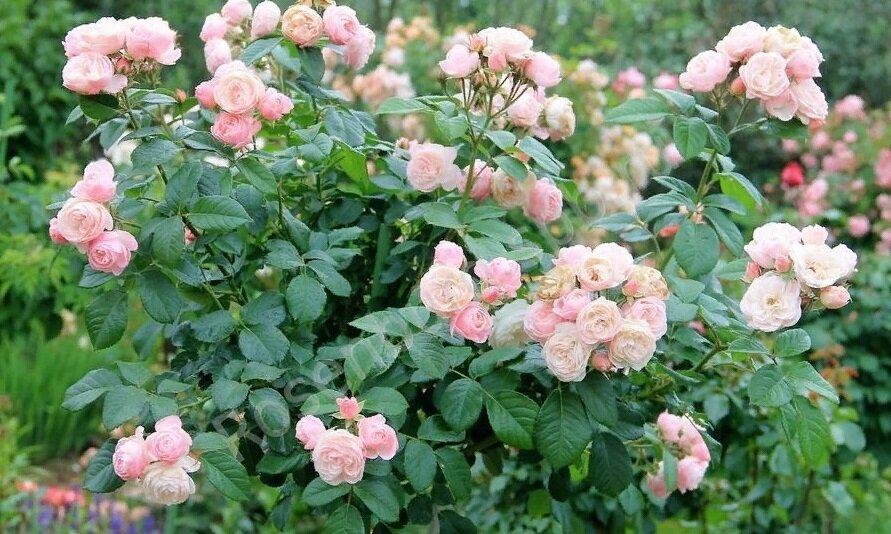 Описание сортов мускусных роз