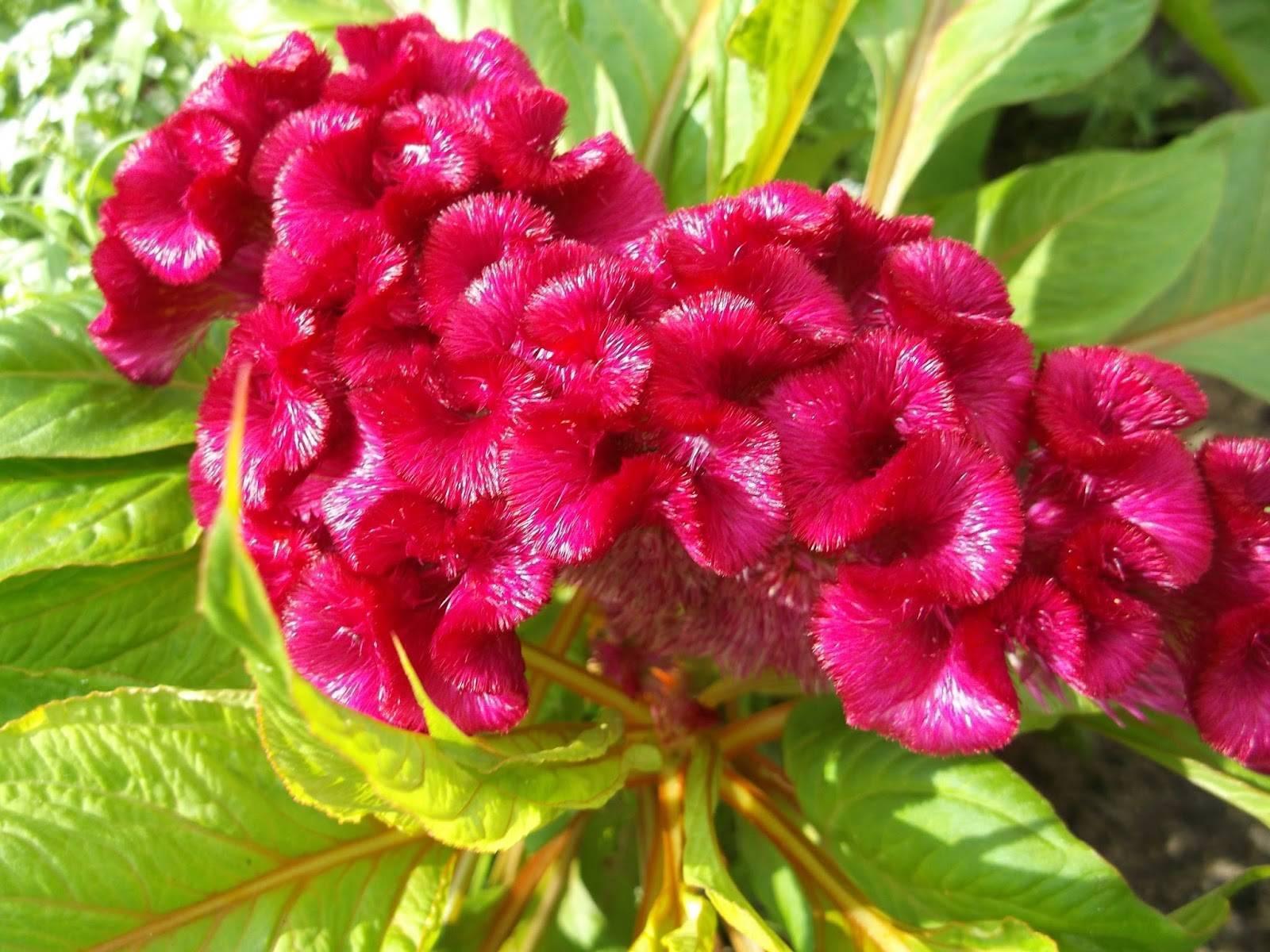 Целозия  — описание растения и порядок выращивания