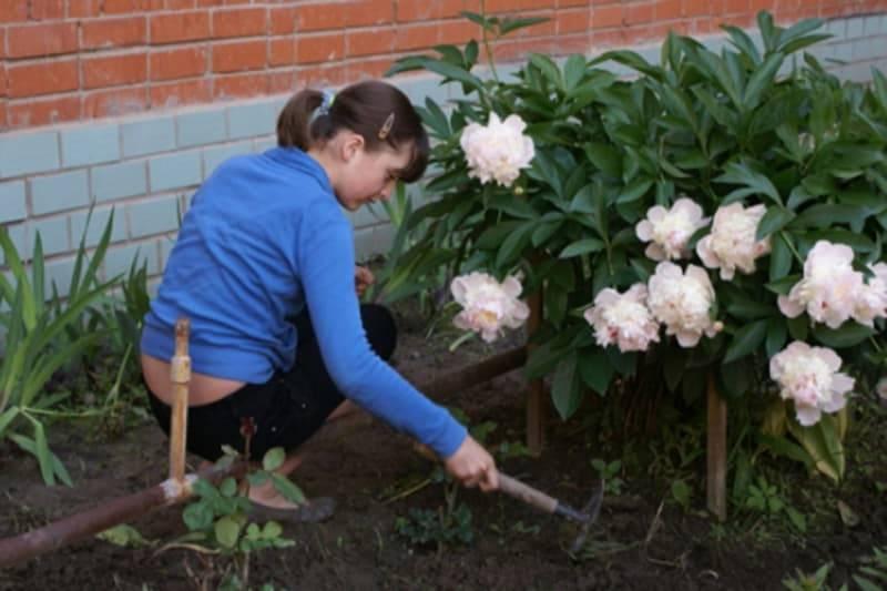 Осенние цветы – бузульник зубчатый