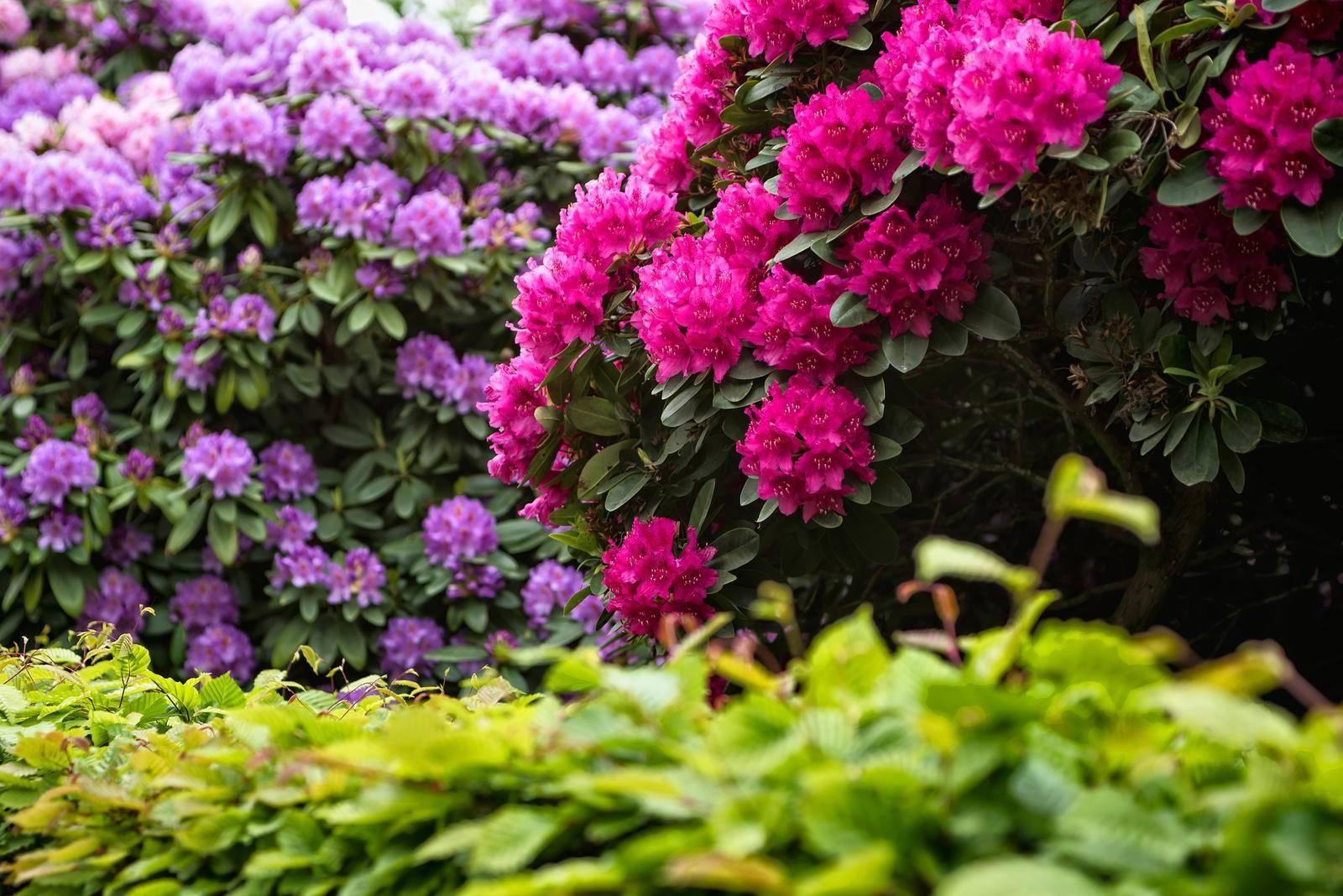Выращивание и уход за фуксией садовой многолетней на улице летом