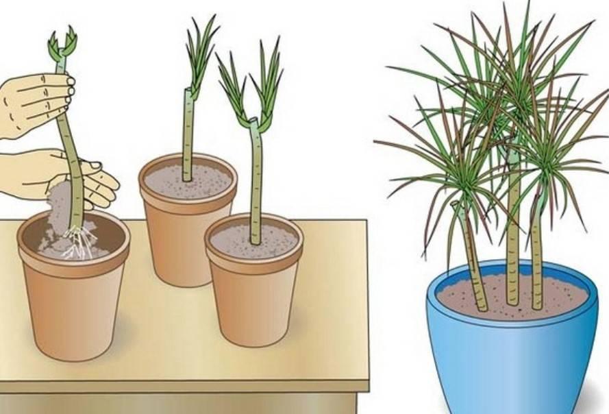 Как размножается антуриум: черенками, листом, укоренение отростков