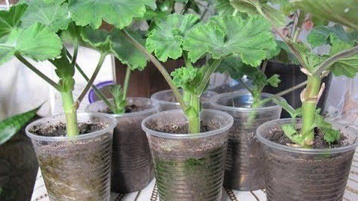 Размножение герани (32 фото): как размножить ее черенками? черенкование герани весной. как посадить герань отростком без корней?