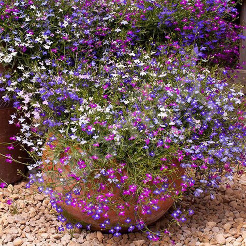 Лобелия – посадка и уход, фото цветов, примеры оформления участка