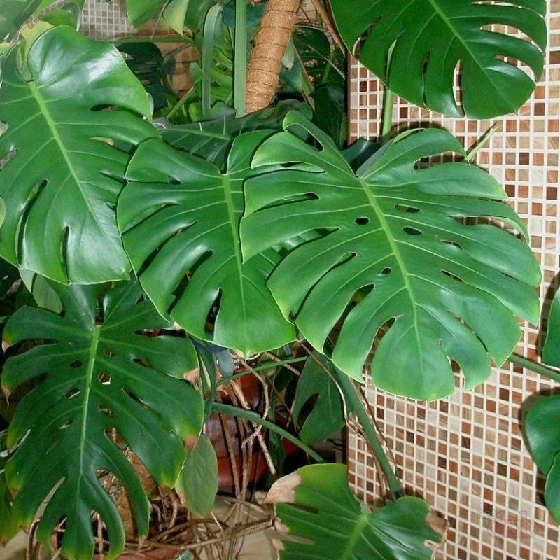 Великаны в вашей квартире – 10 самых крупных комнатных растений