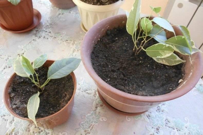 В какой горшок посадить фикус и правильно выбрать место в помещении: основы по уходу за растением