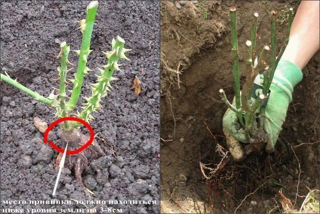Как правильно выполнить посадку розы весной в грунт