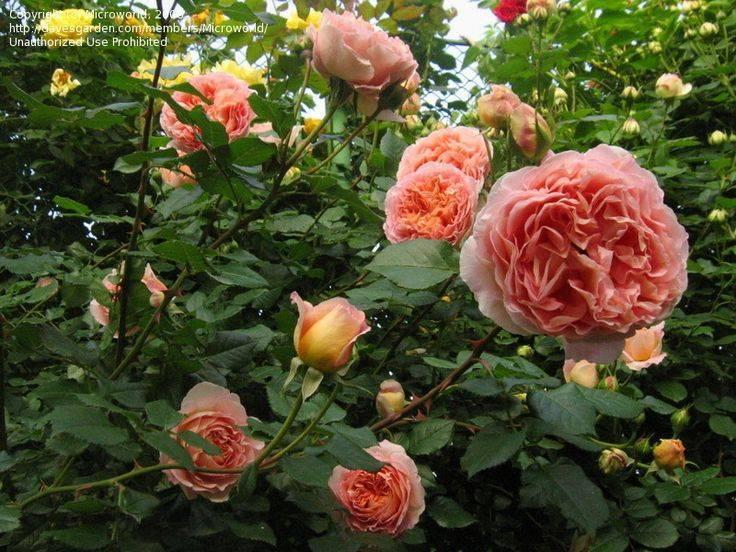 Роза английская абрахам дарби (abraham darby) - описание , фото, агротехника, преимущества и недостатки | о розе