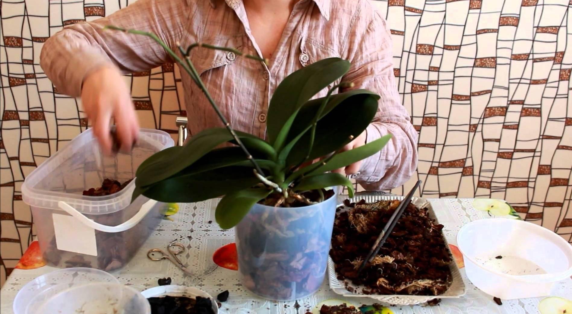 Аспидистра цветок — уход в домашних условиях