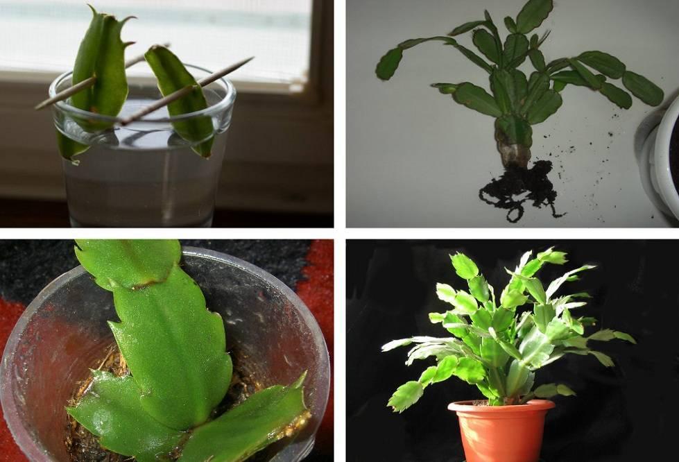 Как размножить декабрист в домашних условиях: примеры без корней и листочками