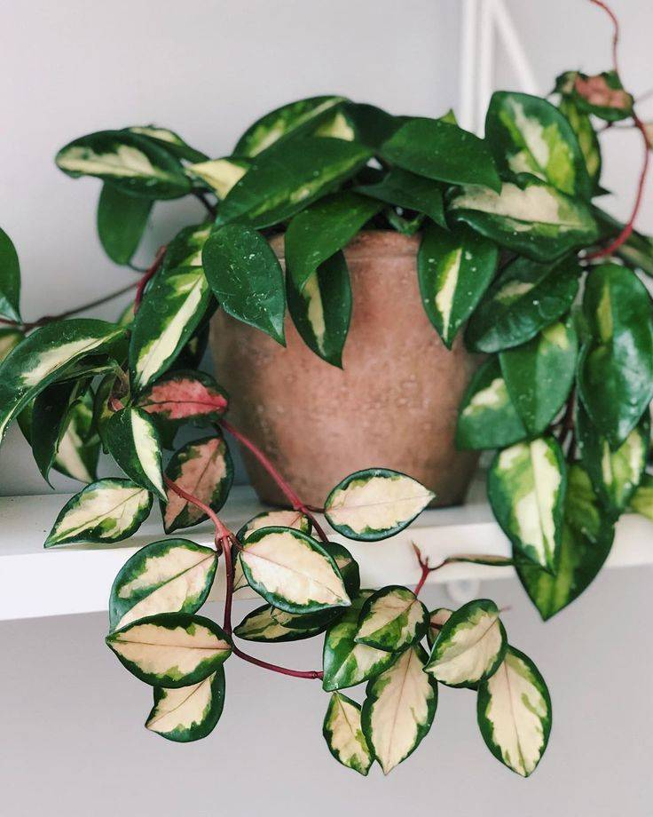 Разновидности цветка хойя керри и особенности его цветения: размножение листками