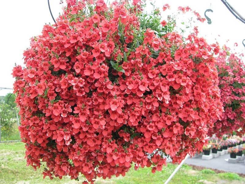 Диасция — многолетнее ампельное растение