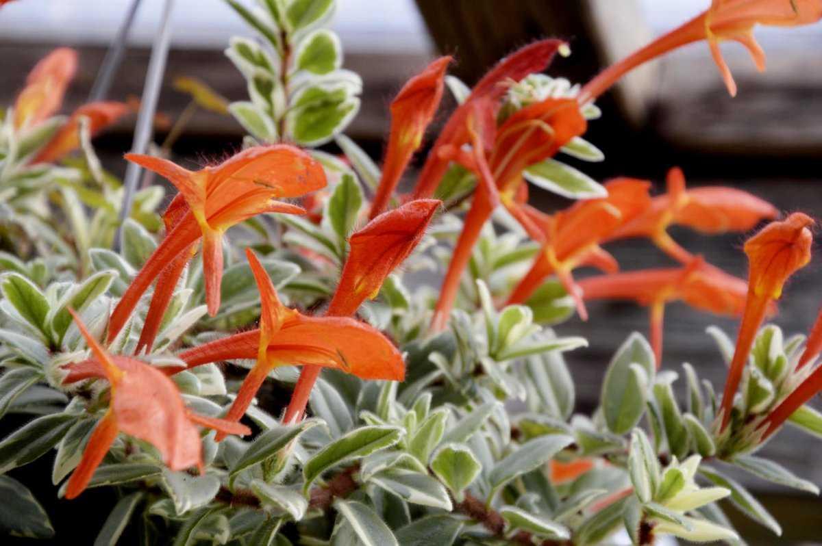 Как ухаживать за цветком колумнея в домашних условиях, почему не цветет колумнея
