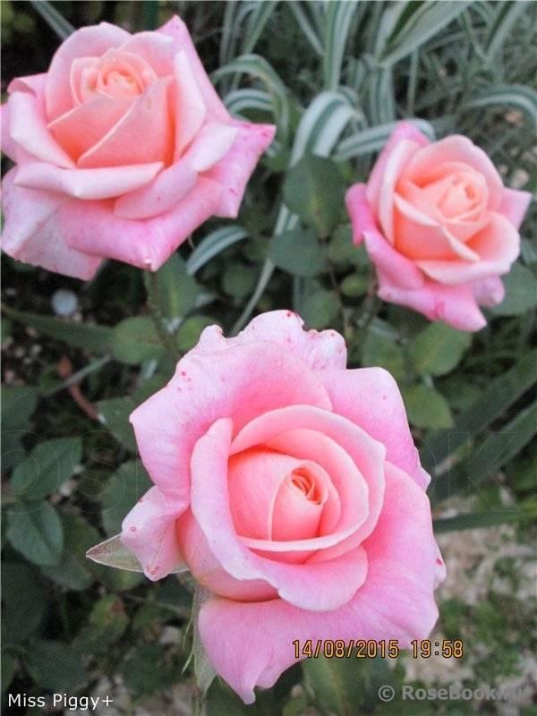 Вид чайно-гибридной розы сорта ностальжи: описание, как посадить, условия ухода