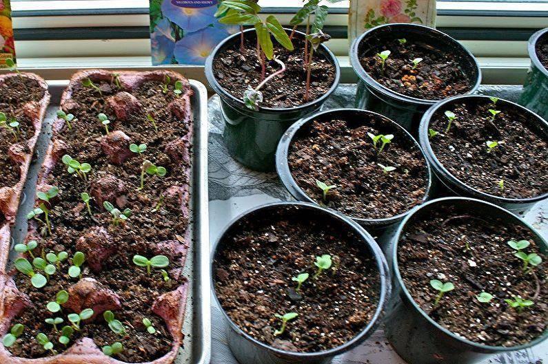 Все о выращивании клеомы семенами: посадка и уход за цветами в открытом грунте