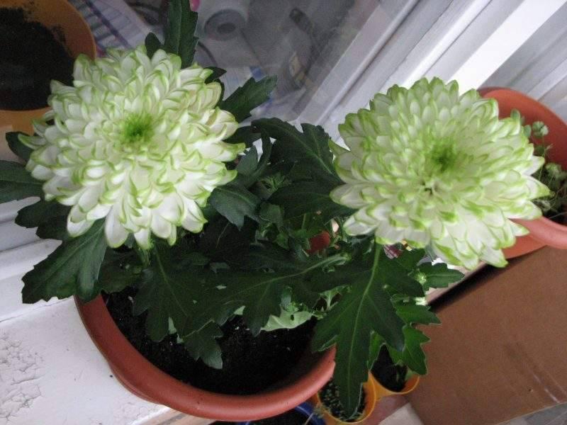 Хризантема в горшках – как ухаживать за хризантемой в домашних условиях
