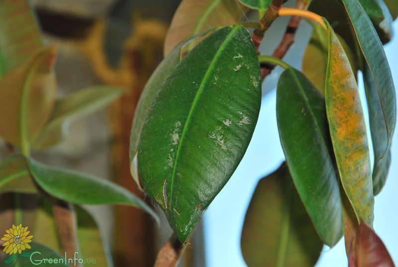 По какой причине могут желтеть и опадать листки у фикуса: болезни, вредители