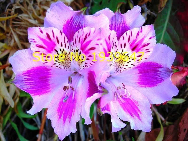 Цветок альстромерия: выращивание и уход (фото)