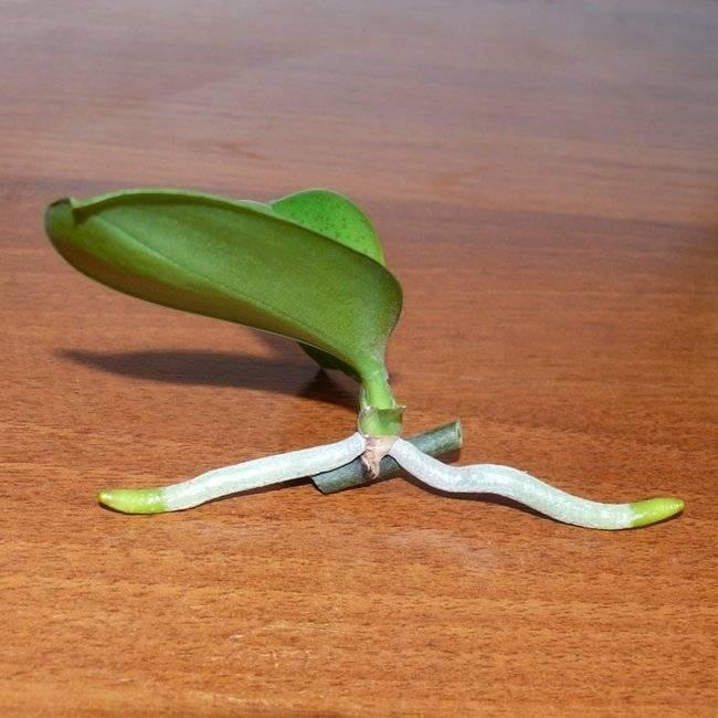 Размножение в домашних условиях черенками орхидеи фаленопсис: плюсы и минусы этого способа, как подготовить отросток к посадке?