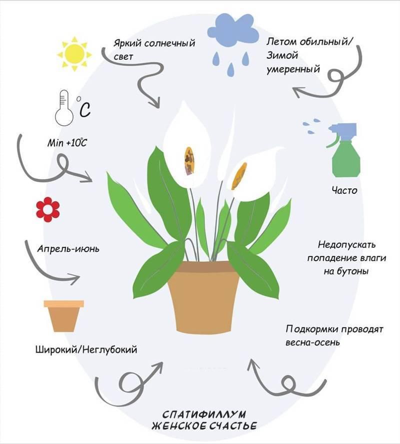 Размножение, пересадка и уход за цветком спатифиллум в домашних условиях