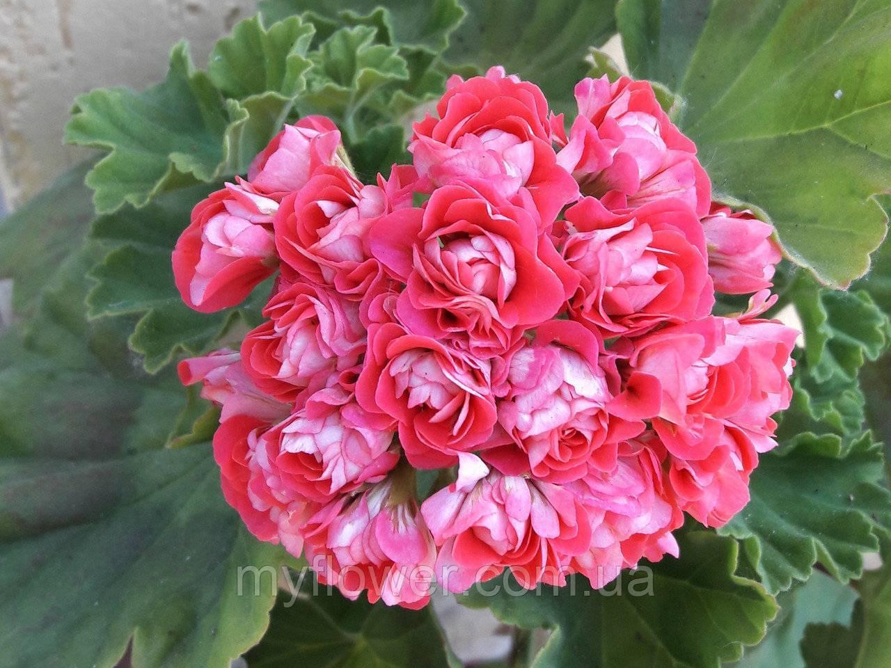 Пеларгония пак вива розита (pac viva rosita)