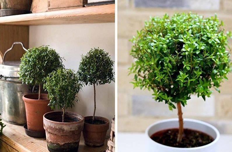 Почтенное дерево — мирт. уход в домашних условиях