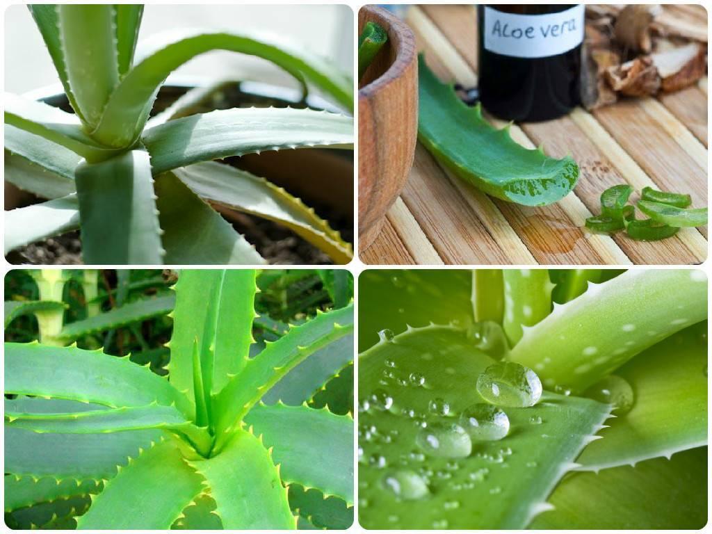 Полезное растение — алоэ вера: правильный уход и народные рецепты