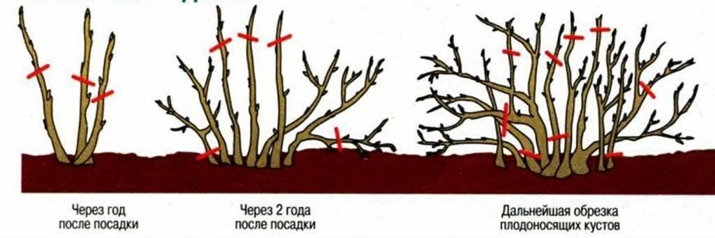 Обрезка крыжовника весной: как правильно сделать обрезку