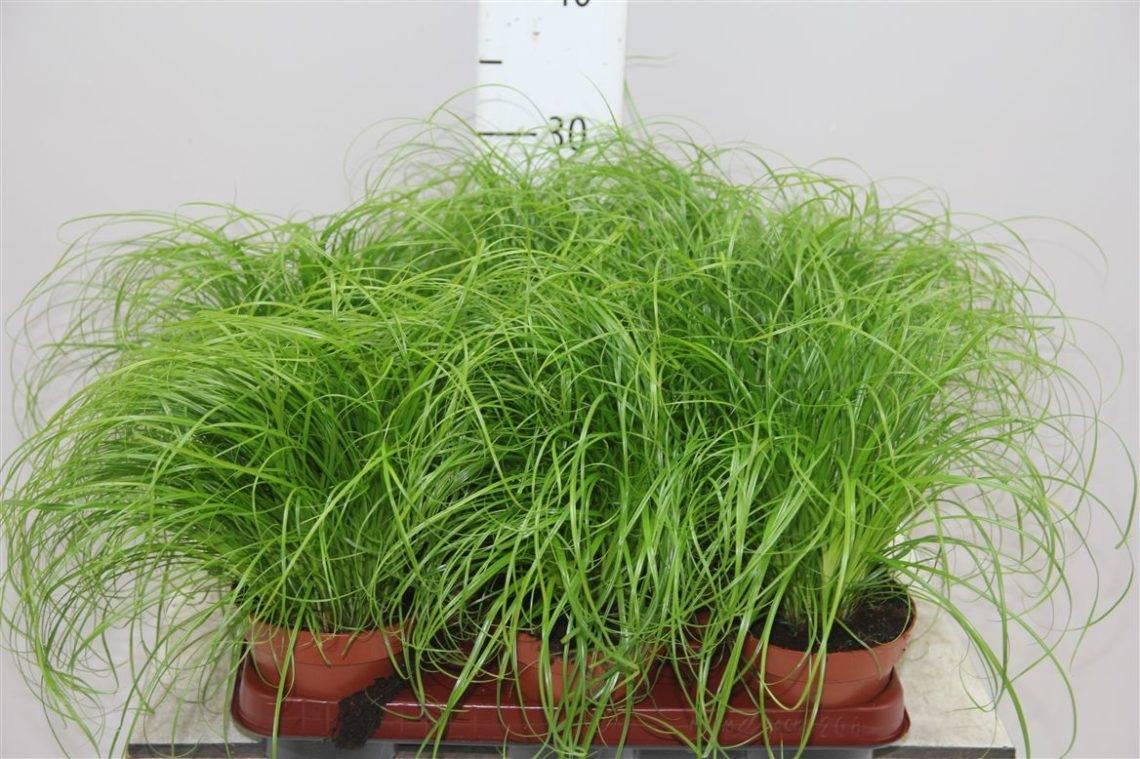 Как легко вырастить циперус из семян и правильно ухаживать за ним?