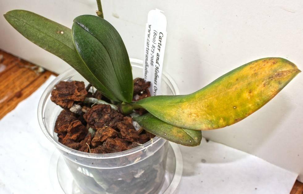 Почему орхидея желтеет, как спасти растение, что делать, если у основания начал меняться цвет, и когда этот процесс является естественным?