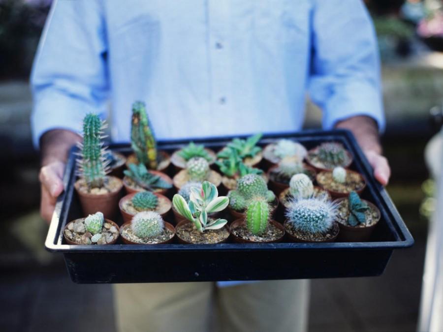 Опунция - ушастый кактус