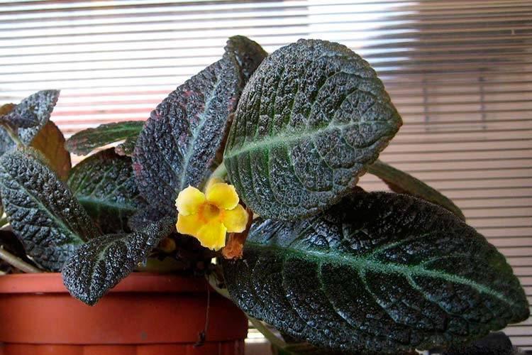 Комнатный цветок эписция уход в домашних условиях фото сортов размножение как укоренять