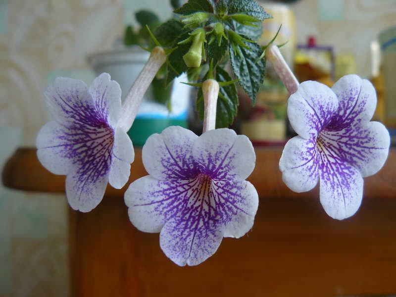 Экзотическое растение драцена массанжеана!