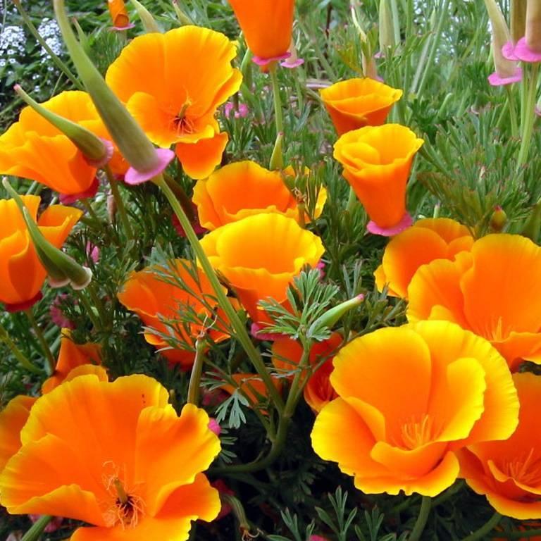 Эшшольция калифорнийская: выращивание из семян, когда сажать