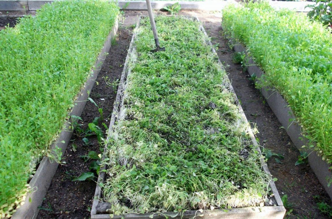 Люпин как сидерат: быстрый и красивый способ улучшить состав почвы
