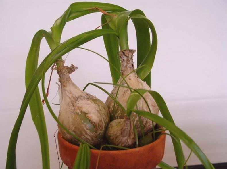 Индийский лук (птицемлечник хвостатый). лечебные свойства, применение, выращивание.