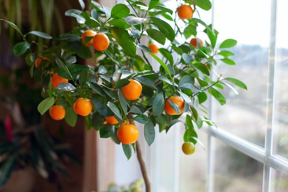Выращивание и уход за домашним цитрусом
