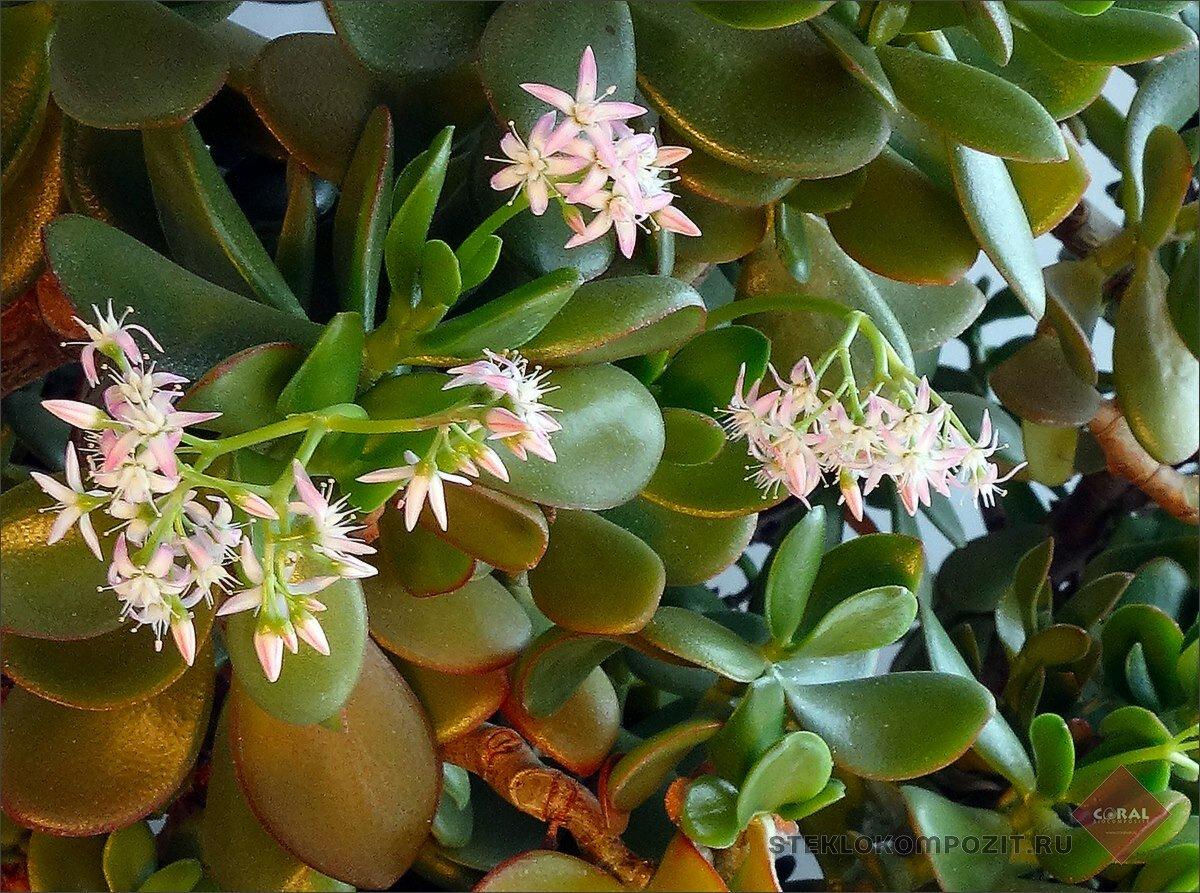 Правила ухода за аихризоном в домашних условиях. размножение цветка и борьба с болезнями и вредителями