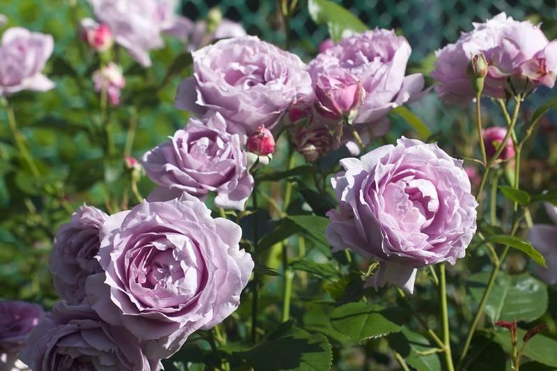 Роза джеймс галвей (james galway) — описание сорта клаймбера