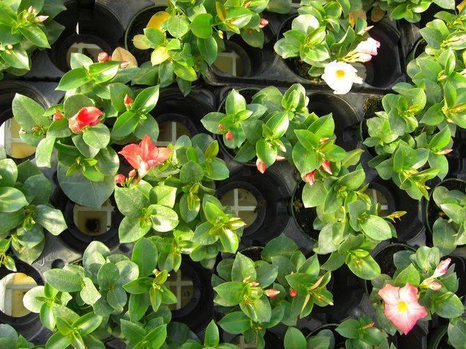 Дипладения (52 фото): уход за цветком мандевилла в домашних условиях, правильное выращивание растения зимой и размножение королевы комнатных лиан