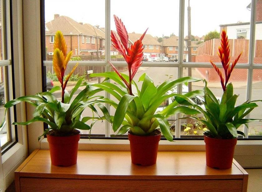 Комнатные цветы вриезия: фото растений, уход в домашних условиях