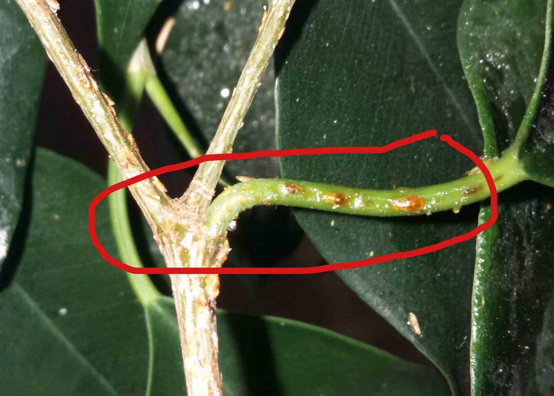 Почему фикусы сбрасывают листья
