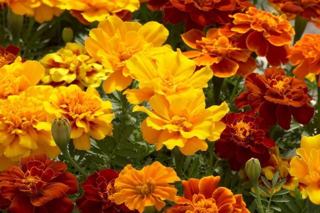 Цветы бархатцы и его сорта на фото: прямостоячий, бархатец тонколистный, мелкоцветные бархатцы - выращивание