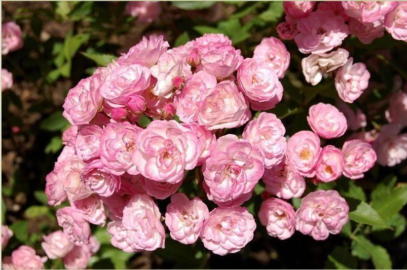 Пеларгония австралиан пинк розебуд