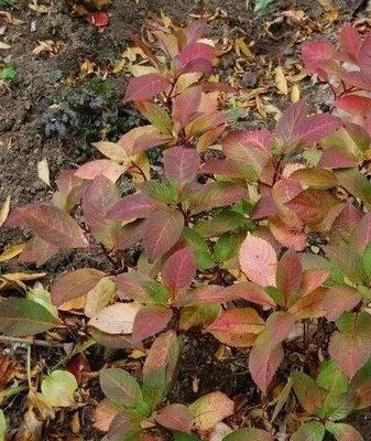 Листья гортензии бледнеют, светлеют, вянут и опадают: как спасти гортензию?